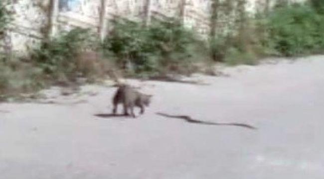 - Kedinin yılanla kavgası kamerada