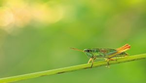 - Dünyada böcekler azalıyor