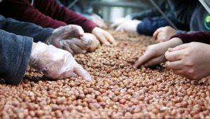 Fındık ihracatında bu sezon rekor bekleniyor