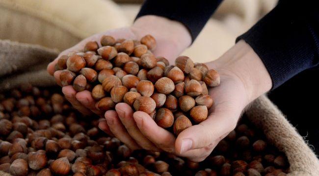 - AB ülkelerine iki ayda 5 bin 156 ton 522 kilo fındık ihraç edildi