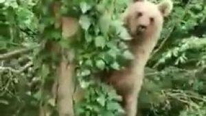 - Ağaca tırmanan ayı, objektife adeta poz verdi