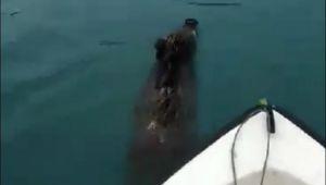 - Balık için açıldığı denizde yüzen yaban domuzu ile karşılaştı