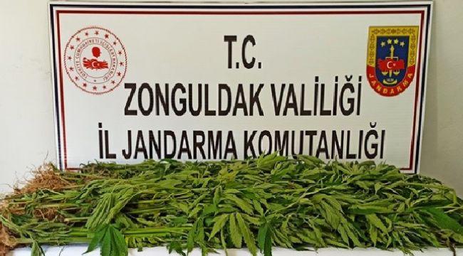 -Zonguldak'ta 143 kök kenevir ele geçirildi