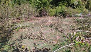 - Fındık ve ceviz ağaçlarını kesen şüpheliler aranıyor