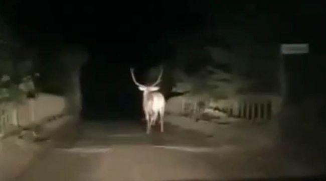 - Karayoluna inen geyik görenleri hayrete düşürdü