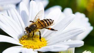 Arı soktu, hastanelik oldu