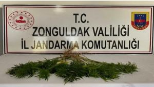 Zonguldak'ta kenevir operasyonu;42 kök kenevir bitkisi ele geçirildi