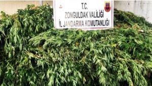 Zonguldak'ta kenevir operasyonu